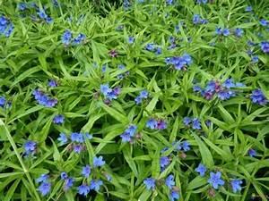Blau Blühender Bodendecker : bl hende bodendecker diese 20 pflanzen sorgen f r herrliche bl tenpracht im garten ~ Frokenaadalensverden.com Haus und Dekorationen
