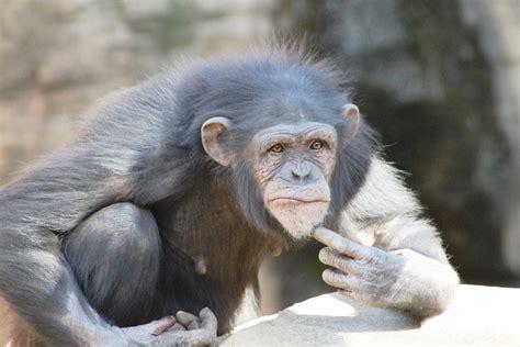 mono chimpanzee primate  photo  pixabay