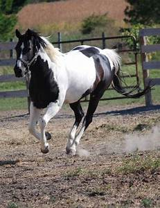 Paint Horse/Black and White Pinto by Roseann Riggi-Knudson