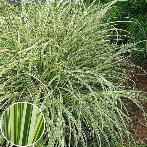 silver grass miscanthus sinensis miscanthus sinensis