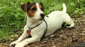 do jack russell terriers shed reference com
