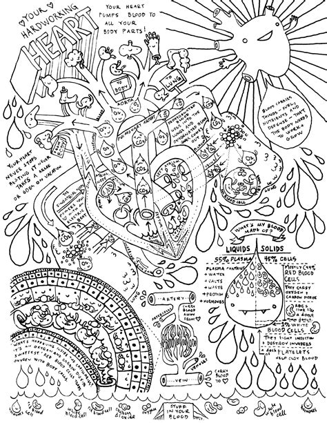 heart  circulatory system coloring page anatomy