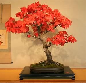 Red Maple Acer rubrum bonsai trees seeds not tree juniper ...