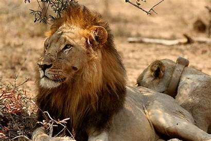 Lion Lions Yawning Africa Sam South Imfolozi