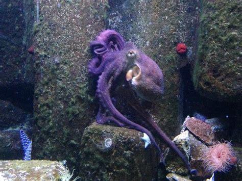 le poulpe impressionnant picture of aquarium du cap d agde cap d agde tripadvisor