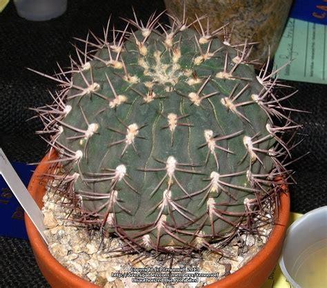 PlantFiles Pictures: Gymnocalycium (Gymnocalycium hossei) by palmbob