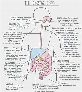 Blank Digestive System Diagram