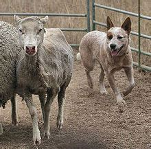 australian cattle dog wikipedia