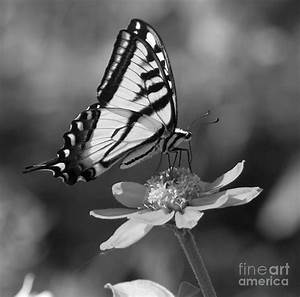 Black And White Butterfly Photography   www.imgkid.com ...