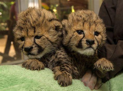 cheetah zoo baby san cubs cheetahs diego cute park safari lion born tiger cub were sisters feeding bottle they houston