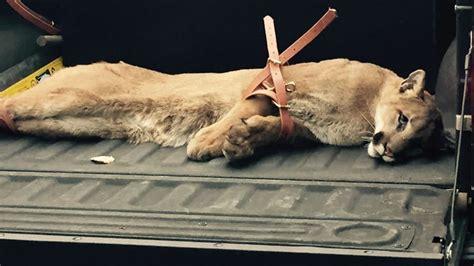 mountain lion successfully captured  san mateo
