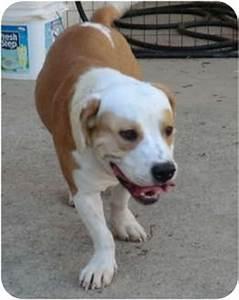 Fozzie Bear   Adopted Dog   Sacramento, CA   Basset Hound ...
