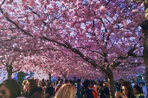 วอลเปเปอร์ : ปลูก, ดอกไม้, สีชมพู, เบ่งบาน, ดอกซากุระ ...