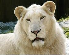 Displaying  20  Gallery Images For White Liger Cubs     White Liger Cubs