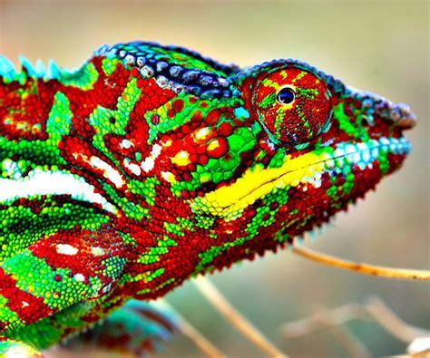 do all chameleons change color how do chameleons change color