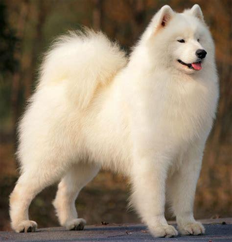do samoyeds shed more than huskies samoyed breed profile australian lover