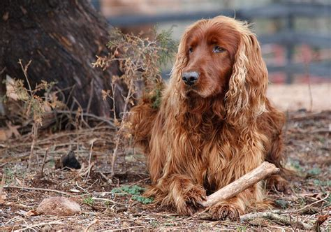 setter hair shedding setter proper food beautiful hair all about dogs