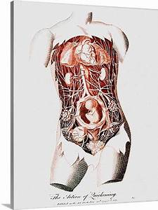 Diagram Pregnant Womans Reproductive System