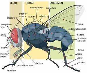 How Do Flies Fly Into Hard Surfaces And Not Get Hurt   U00bb Science Abc