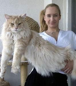 Ca Du Maine : maine coon 16 gros chats majestueux qui vont faire complexer vos chats ~ Medecine-chirurgie-esthetiques.com Avis de Voitures