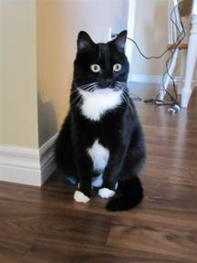 tuxedo cats 25 best ideas about tuxedo cats on cats