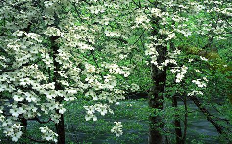 dogwood tree blooms 301 moved permanently
