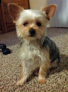 Lookin sharp with his new haircut #chorkie | Chorkie Love