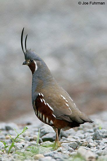mountain quail oreotyx pictus largest quail found in