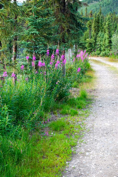july   alaskan fireweed polartrec