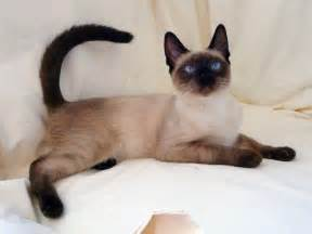siamese cats for 15 beautiful siamese cat pictures mostbeautifulthings