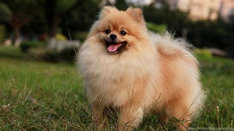 Best Animal Wallpapers For Desktop - best animals wallpaper pomeranian puppies 495775
