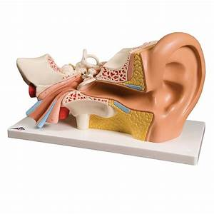Ear Anatomy Diagram Quizlet