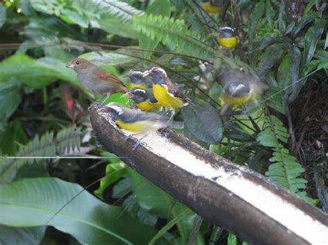 birds of guadeloupe