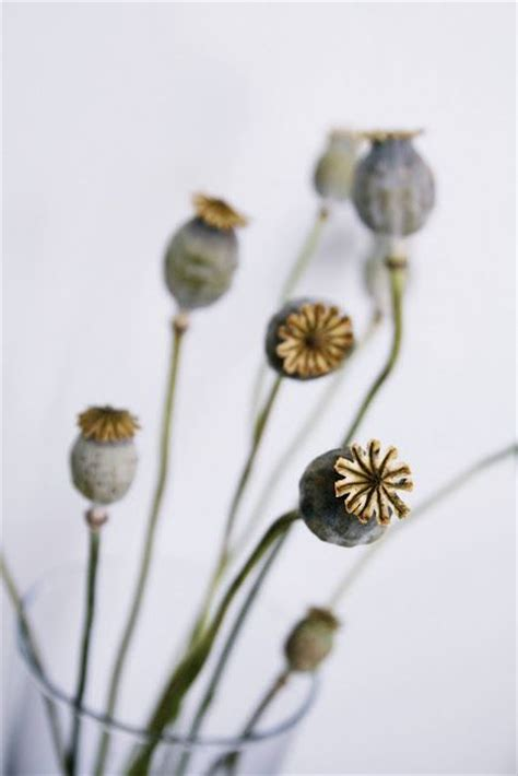 poppy seed designs 78 best images about seed heads on pinterest posts cas and canvases