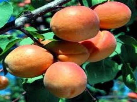 Goldcot Apricot Tree