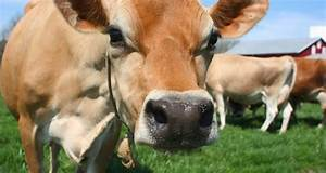 The 5 Best Dairy Cattle Breeds For The Homestead