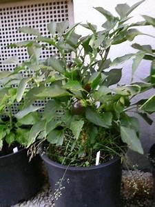 Paprika Pflanzen Pflege : 25 best ideas about paprika pflanzen on pinterest paprikapflanzen kr uterturm and vogeltr nke ~ Markanthonyermac.com Haus und Dekorationen