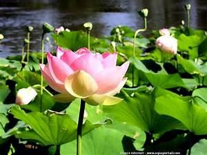 Plantes Aquatiques Dfinition Et Explications