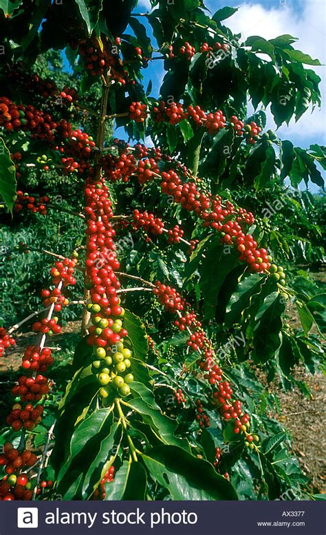 This tree gets its name because early kentucky settlers noticed the resemblance of its seeds to coffee beans. Coffee Tree in Cherry Coffea arabica berries red Plantation Big Stock Photo: 1717110 - Alamy