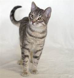 tabby cat breeds a list of tabby cat breeds you ll certainly