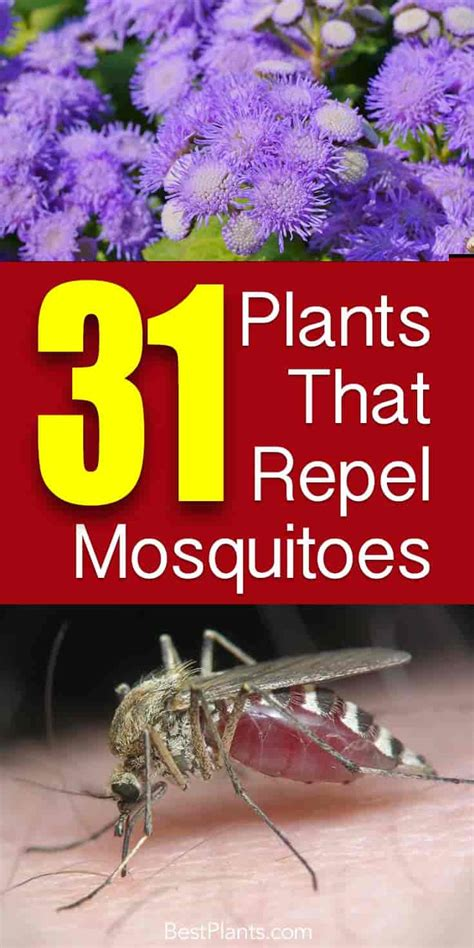 plants that repell mosquitoes 31 plants that repel mosquitoes