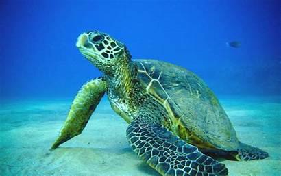 Turtle Sea Desktop Wallpapers Wallpapersafari Hq
