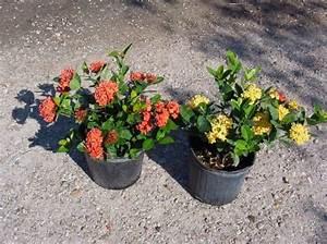 Arbuste D Intérieur : photo pot cass prince d 39 orange rouge des arbustes ~ Premium-room.com Idées de Décoration