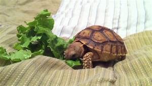 Baby Tortoise eating on the bed - YouTube