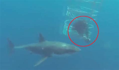Fishing Boat Attacked By Shark South Africa by Viral Video Great White Shark Attacks Another Shark Next