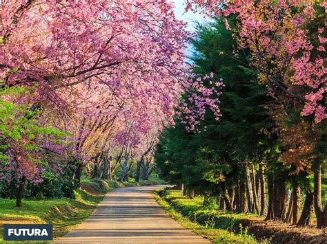 fond d écran fleur fond d cran printemps les cerisiers en fleurs fond ecran