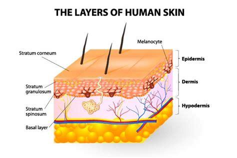 25+ Best Ideas About Skin Anatomy On Pinterest