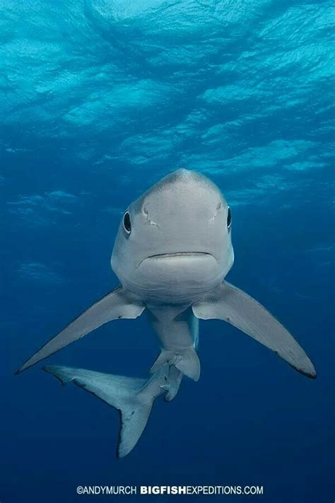 blue shark   pretty cute face   shark shark