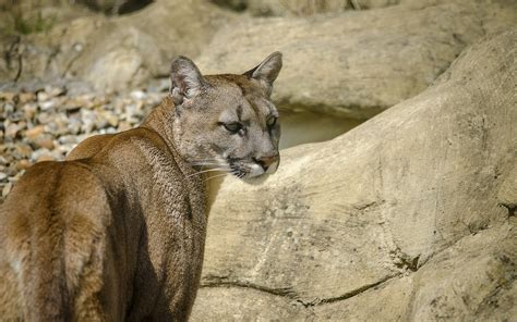 Wallpaper Animals Rock Grass Wildlife Big Cats Zoo