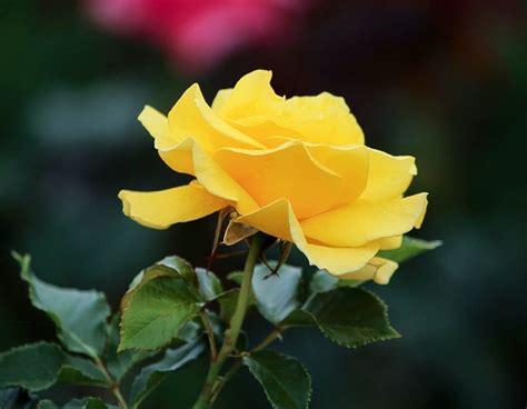significado de las rosas todo lo  debes saber sobre ello